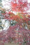 井の頭恩賜公園の紅葉の画像009