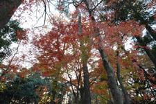 井の頭恩賜公園の紅葉の画像011