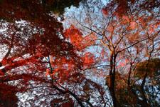 井の頭恩賜公園の紅葉の画像016