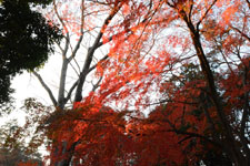 井の頭恩賜公園の紅葉の画像020
