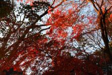 井の頭恩賜公園の紅葉の画像022