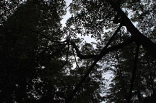 天岩戸神社のオガタマノキの画像001