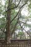 天岩戸神社のオガタマノキの画像002