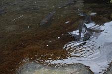 飼育されているチョウザメの画像002