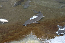 飼育されているチョウザメの画像005