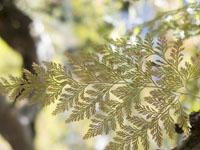 石立山の葉