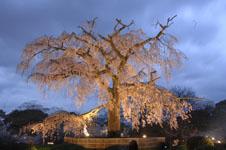 京都円山公園のしだれ桜の画像001