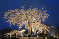 京都円山公園のしだれ桜の画像002