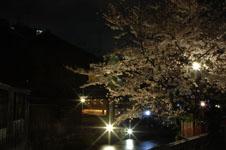 京都祇園の夜桜の画像001