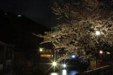京都祇園の夜桜の画像002