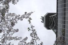 名古屋テレビ塔と桜の画像001