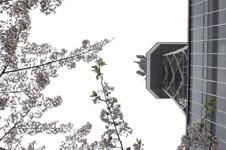 名古屋テレビ塔と桜の画像002