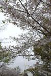 久屋大通公園セントラルブリッジと桜の画像001