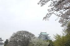 名古屋城と桜の画像001