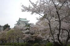 名古屋城と桜の画像004