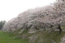 名古屋城のお堀の桜の画像003