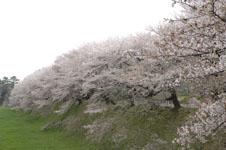 名古屋城のお堀の桜の画像004