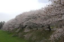 名古屋城のお堀の桜の画像005