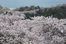 岩城島の桜の画像005