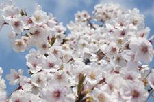 岩城島の桜の画像006