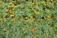 花のマリーゴールドの画像001