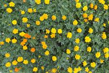 花のマリーゴールドの画像002