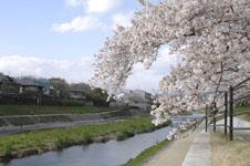 鴨川の桜の画像001