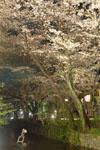 木屋町通り高瀬川の夜桜の画像001