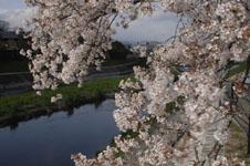 鴨川の桜の画像005