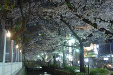 木屋町通り高瀬川の夜桜の画像005