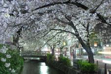 木屋町通り高瀬川の夜桜の画像006