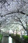 木屋町通り高瀬川の夜桜の画像007