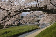 鴨川の桜の画像009