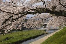 鴨川の桜の画像011