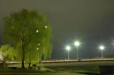 春の鴨川の柳の若葉の画像001