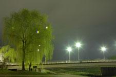 春の鴨川の柳の若葉の画像003