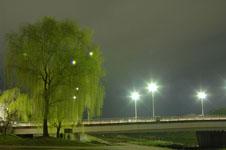 春の鴨川の柳の若葉の画像004