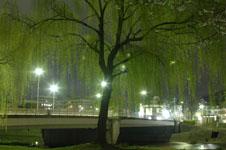 春の鴨川の柳の若葉の画像005