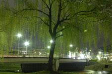 春の鴨川の柳の若葉の画像006