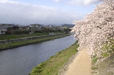 鴨川の桜の画像012
