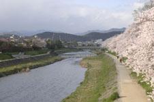 鴨川の桜の画像014