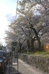 哲学の道の桜の画像001