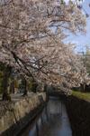 哲学の道の桜の画像003