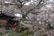 哲学の道のお茶屋さんと桜の画像001