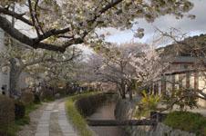 哲学の道の桜の画像006