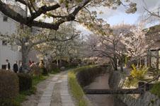 哲学の道の桜の画像007