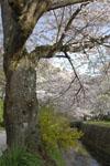 哲学の道の桜の画像008