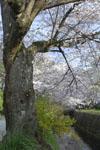 哲学の道の桜の画像009