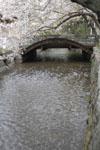 木屋町通り高瀬川の桜の画像003