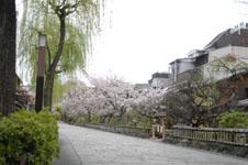 京都祇園の桜の画像001